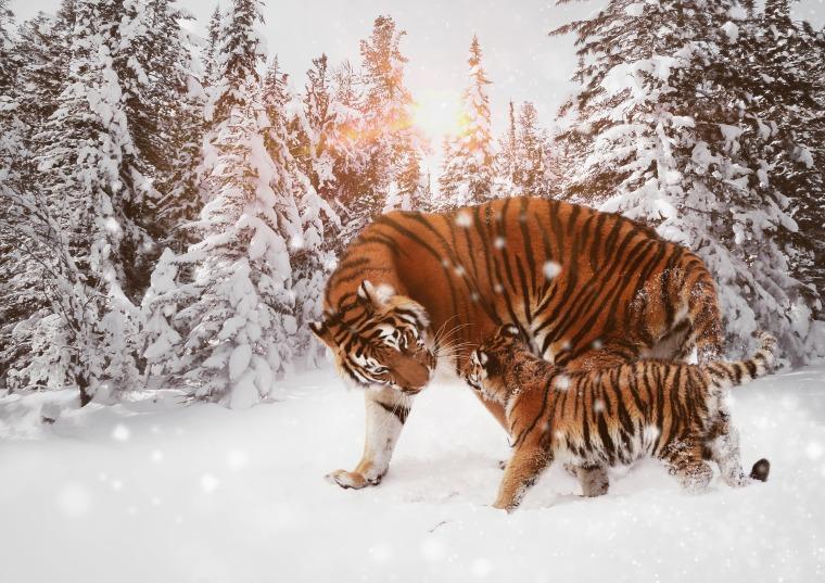 tiger-2380007_1920